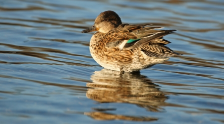 The 2016 U.S. Fish and Wildlife Survey found green-winged teal populations at record highs