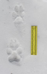 Wolf track in snow.