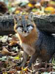 Gray fox in the fall