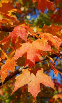 Maple leaves showing fall color