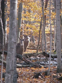 Councils play a key role in deer management issues specific to each county.