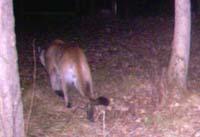 Cougar trail cam photo