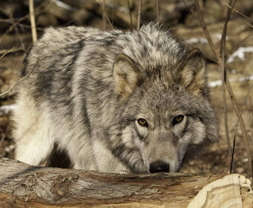 wolf management in wisconsin essay How have wolf expansions affected deer an analysis of optimal wolf management how have grey wolf expansions in wisconsin.