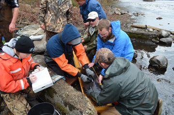 Collecting sturgeon eggs