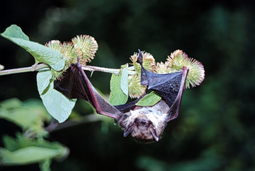 Bat caught in burdock.
