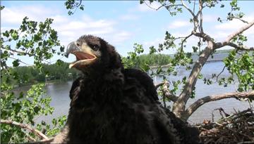 Eaglet nestling