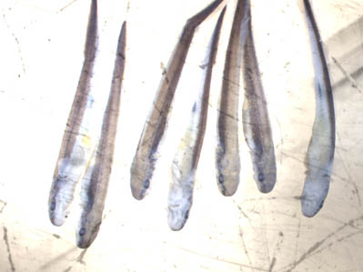 Sturgeon Larvae