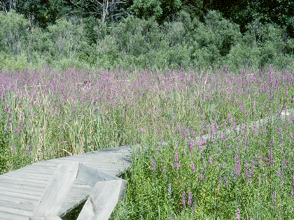 Purple loosestrife biocontrol