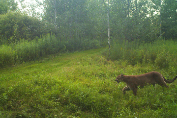 Photo of a cougar in Lincoln County.