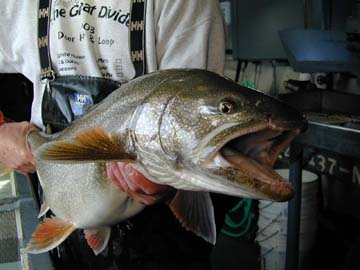 Public hearing set for Lake Superior lake trout emergency rule