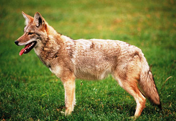 Wisconsin Department of Natural Resources to host online coyote chat Feb. 26 at noon