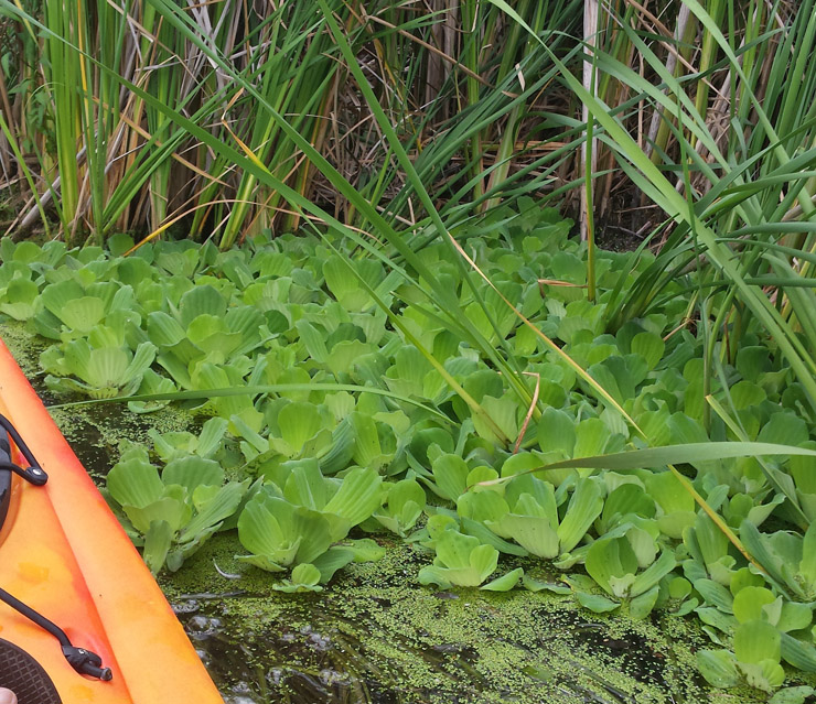Water lettuce reproduces rapidly.