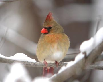 The Northern cardinal is among the species now beginning to show signs of early breeding activity across Wisconsin.