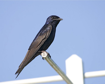 Purple martin. - Photo credit: Jack Bartholmai