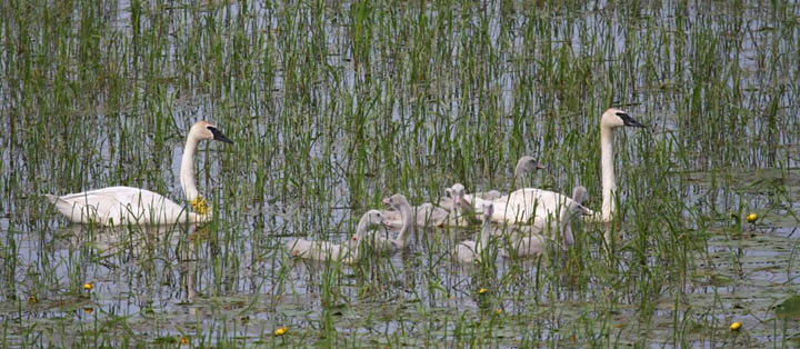 Wisconsin's trumpeter swan recovery program has been a great success and numbers of the beautiful bird continue to grow.