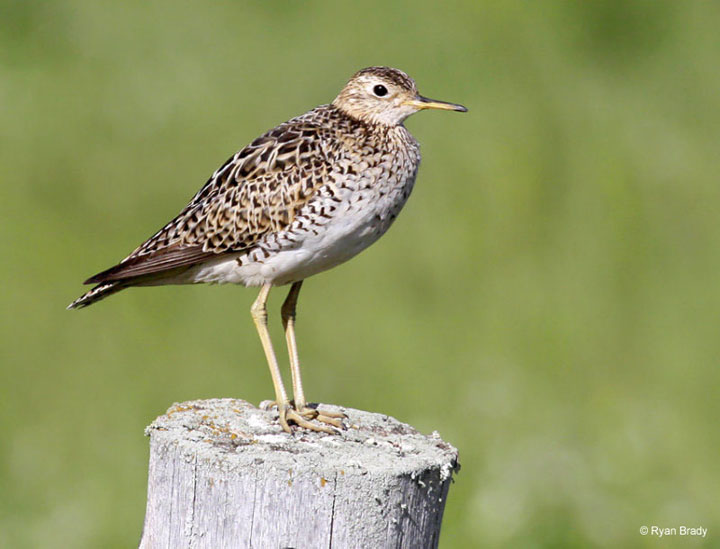 Common throughout much of the United States in the early 1800s, extensive market and sport hunting, along with habitat loss, led to a steep decline in populations of the upland sandpiper by the middle of the 20th century. While implementation of the Migratory Bird Treaty Act eventually curbed hunting pressure, loss and degradation of breeding habitat continues to adversely impact this grassland specialist.