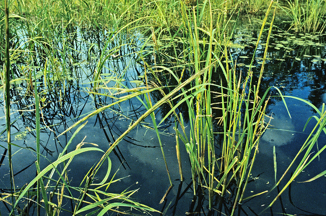 Wild rice may mature later than usual this year.