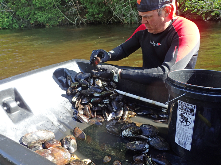 DNR natural heritage conservation staffer Jason Brabant identifies native mussels during surveys on the Manitowish River earlier this month.