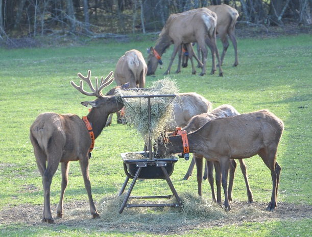 Thirty-nine elk arrived at the Jackson County Holding pen but numbers grew  as pregnant