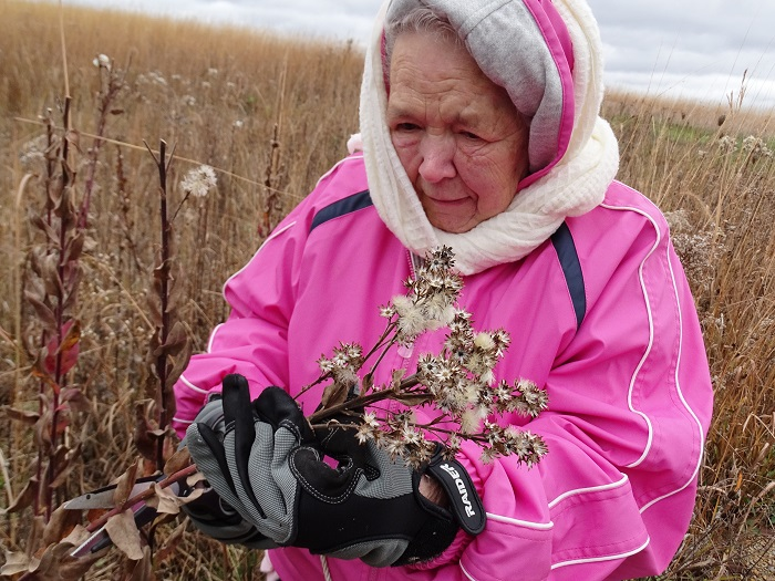 Ridgeway Pine Relict State Natural Area in southern Wisconsin is one of several new sites benefitting from volunteer help in 2015. Here, a volunteer collects wildflower seeds for future prairie restoration work.