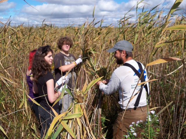 Volunteers cut and bundle giant reed grass at Cherokee Marsh State Natural Area.
