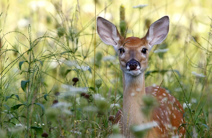 During the first month of the 2016 survey,  deer hunters reported seeing 111 fawns.