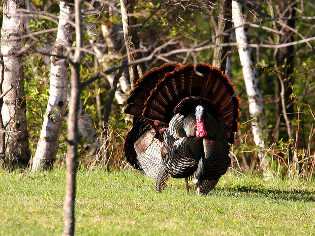 The spring turkey season is for male or bearded turkeys.