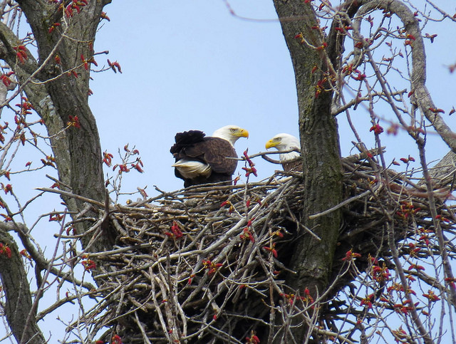 Bald eagle nesting begins in late January and early February in the Midwest. In 2016, DNR biologists found the highest number of occupied eagle nests in the 44 years of aerial surveys.