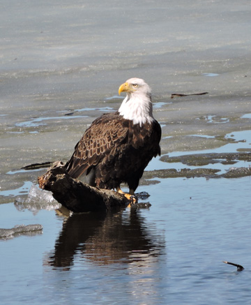 A bald eagle on the ice at Ferryville, which hosts its Eagle Watching Day March 4, 2017.