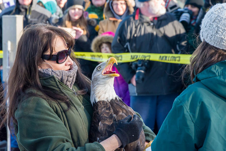 Marge Gibson of the Raptor Education Group, Inc., (REGI) gets ready to release a rehabilitated eagle at the 2016 eagle days event in the Sauk Prairie area.