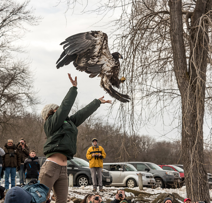 The planned release of a rehabilitated eagle is one of the highlights of Bald Eagle Watching Days Jan. 13-14 in the Sauk Prairie area.