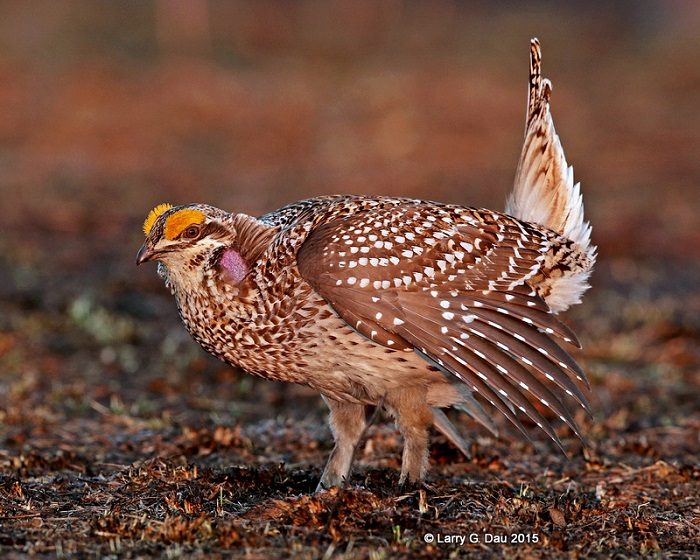Sharp-tailed grouse performs mating dance on a a lek.  Additional viewing bling opportunties have become available to view this ritual this spring. - Photo credit: DNR