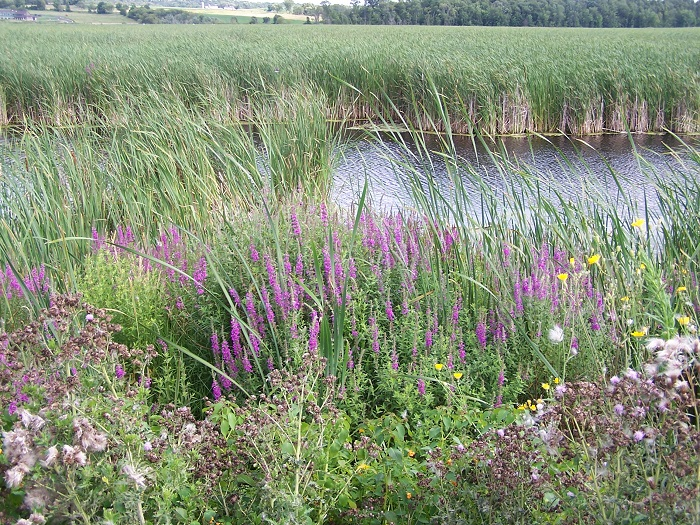 Learn how to combat purple loosestrife and other invasive plant species at this April 11 Eye on Invasives event.