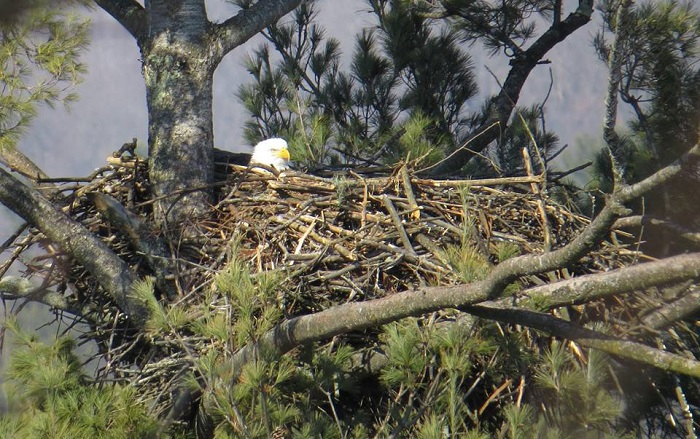 Bald eagles are returning to nest sites.