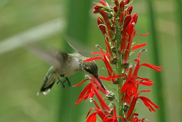 Adding even just a few native plants to your property, like this cardinal flower, can help boost habitat for wildlife.