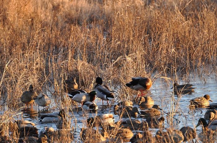 Breeding duck estimate.
