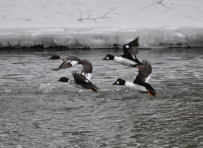 2017 Wisconsin Waterfowl And Other Migratory Game Bird Hunting Seasons Finalized News Release