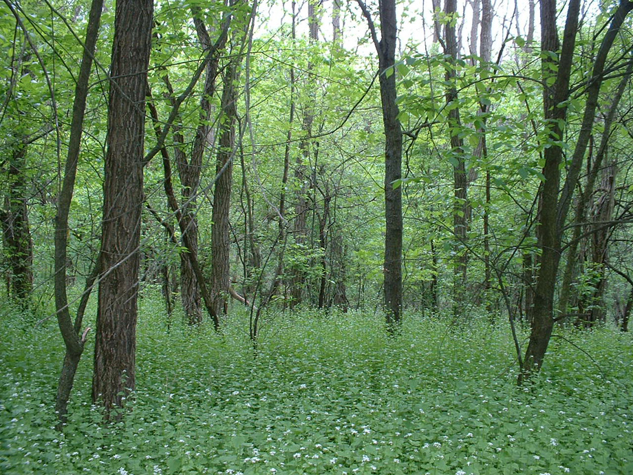 Garlic mustard, an invasive herb, can quickly dominate the forest floor, displacing native wildflowers, tree seedlings, and the wildlife that depend.