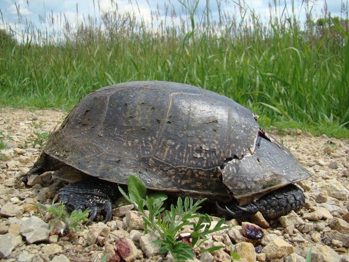 Road mortality of turtles is considered one of the leading causes of declining turtle numbers in Wisconsin.
