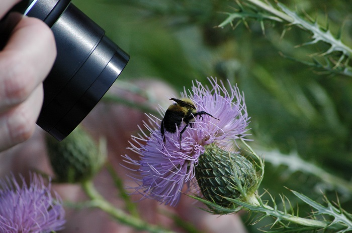 A volunteer photographs a bumble bee so that its identification can be verified.