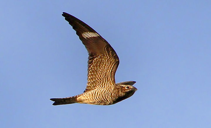 Look now for flocks of common nighthawks foraging for insects in flight as they migrate south near dawn and dusk.