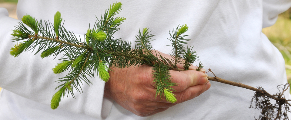 Spruce seedlings are one of the evergreen species available through state nurseries.