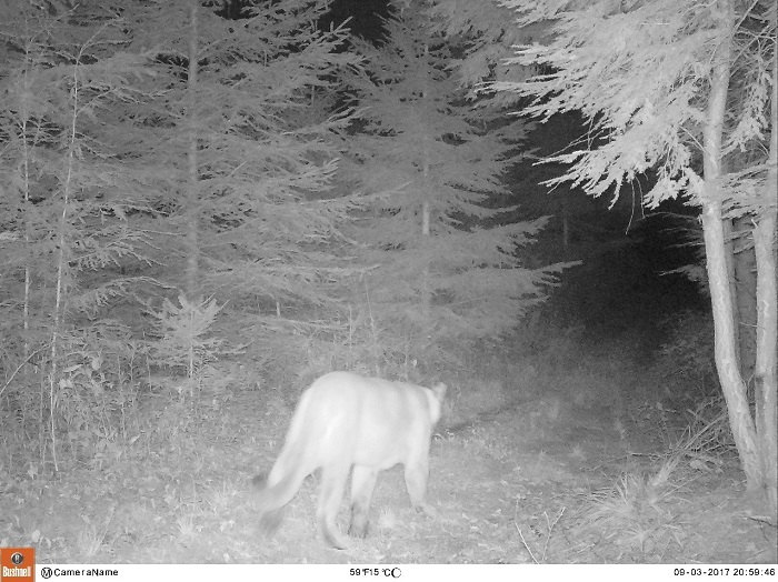 This trail cam photo of a cougar was captured in Marathon County Sept. 3, 2017.