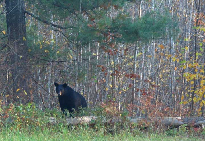 A revised the plan to outline objectives and strategies to guide black bear management in the state from 2019-2029 will be available for comment beginning March 25.  - Photo credit: DNR
