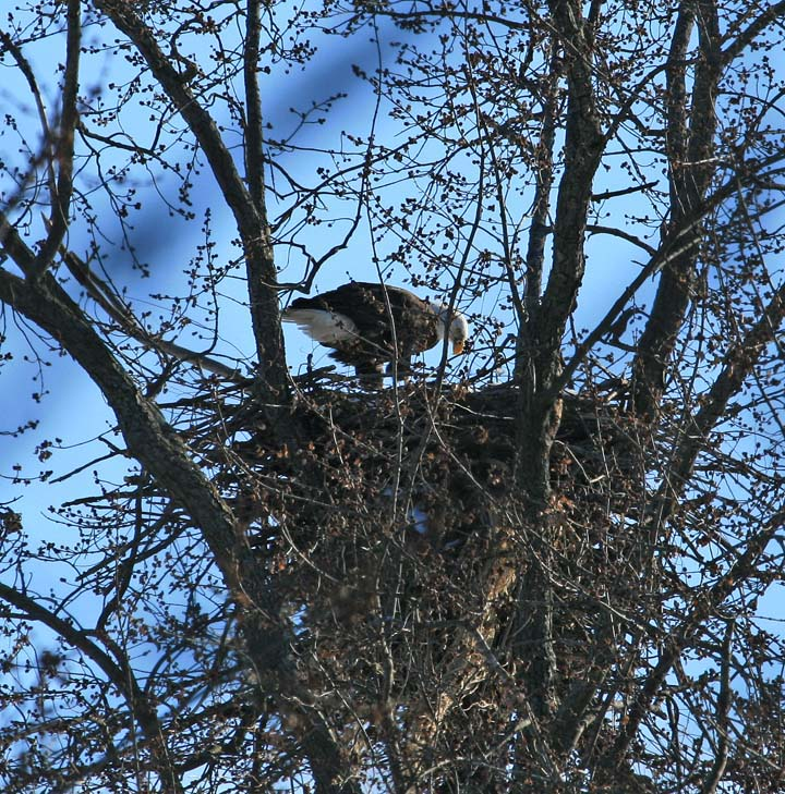 Eagles are being seen in more parts of Wisconsin as they continue to expand their nesting range. - Photo credit: Donna Higgins