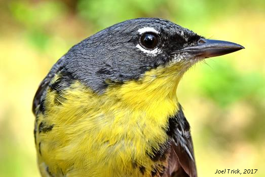 Populations of the endangered Kirtland's warbler in Wisconsin are increasing and expanding geographically.  - Photo Credit: Joel Trick