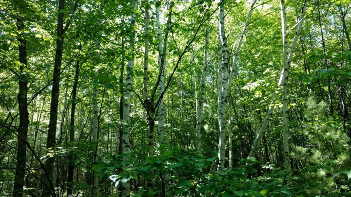 Increasing demand for birch products is putting the state's birch trees at risk. - Photo Credit: DNR