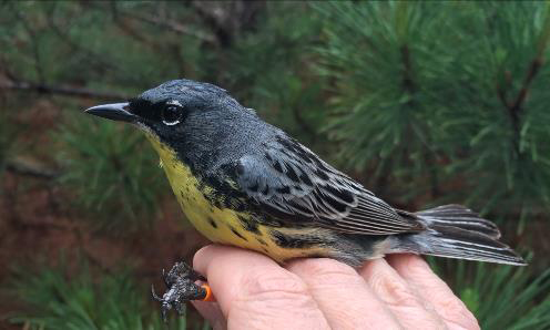 A male Kirtland's warbler that was recently color-banded as part of state and federal efforts to monitor the endangered songbird. - Photo credit: Joel Trick