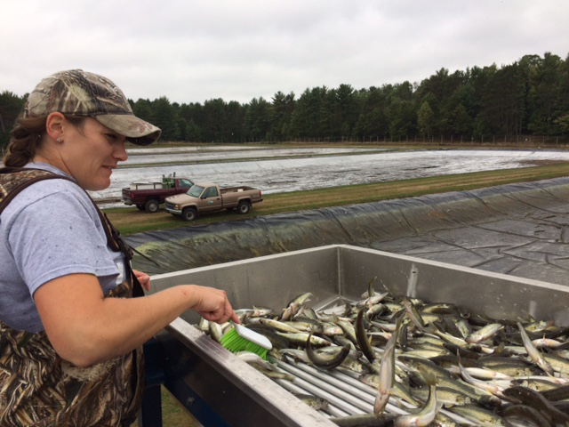 State fish crews collecting extended growth walleye from the Art Oehmcke State Fish Hatchery near Woodruff. - Photo Credit: DNR