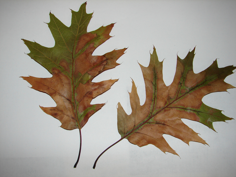 Leaves infected with oak wilt drop rapidly and appear bronze-green.